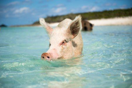 ocean pigs
