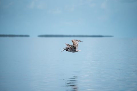pelican florida ocean