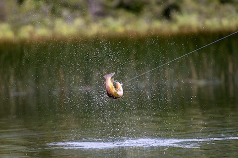 Brown Trout FIshing Chile