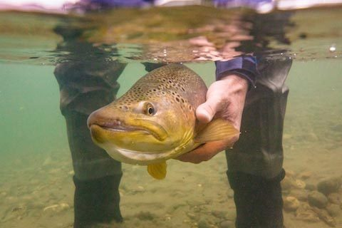 brown trout rio palena lodge chile