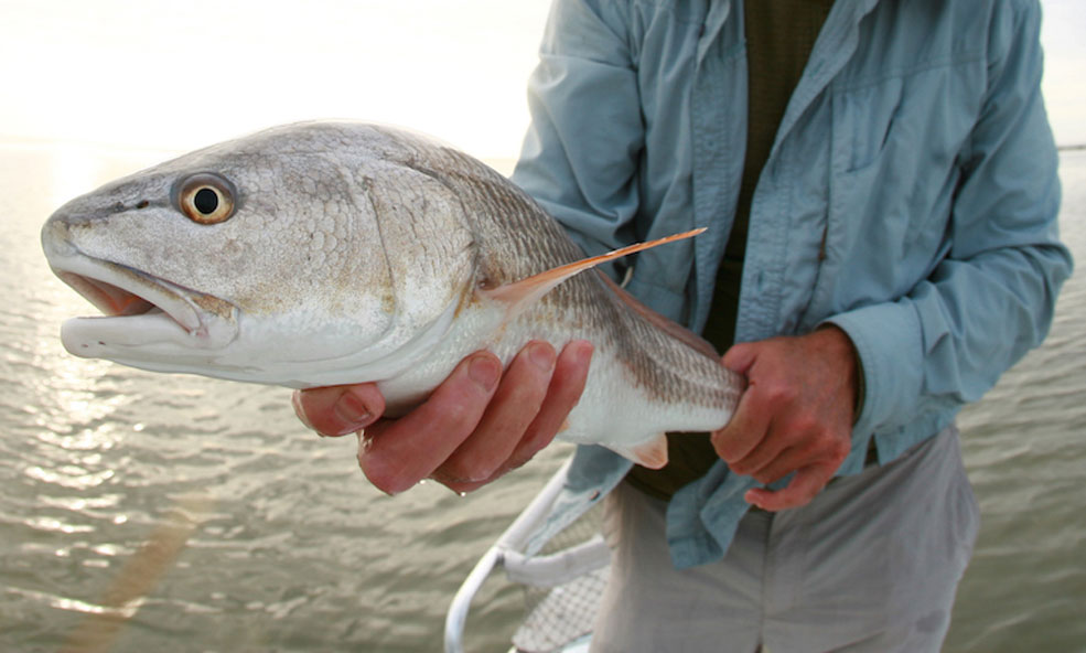 Redfish angling