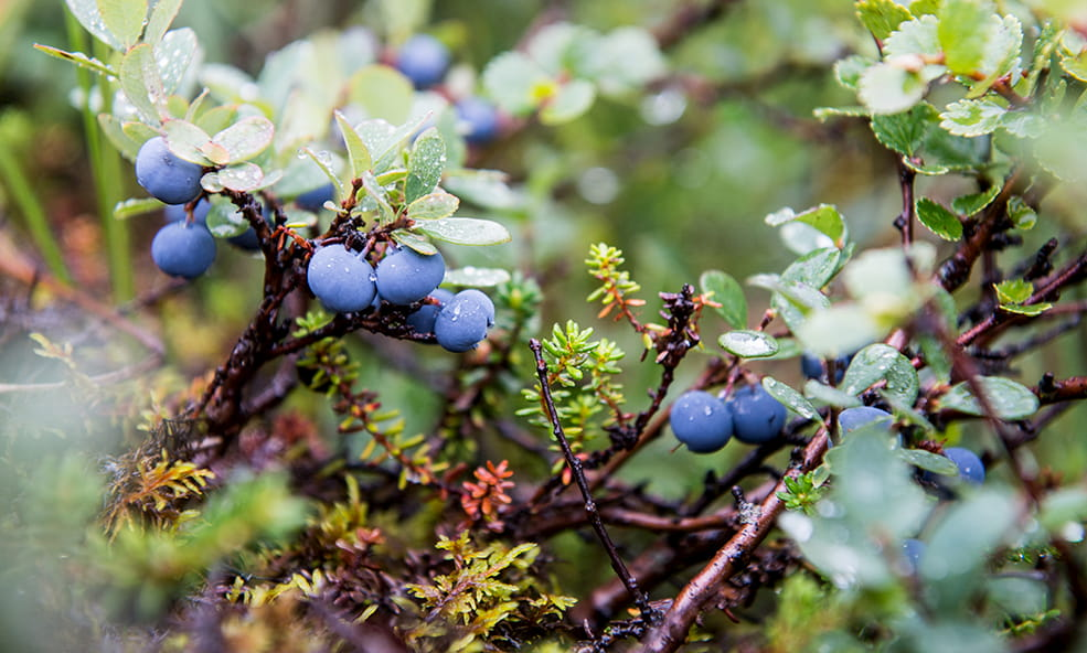iceland blueberries