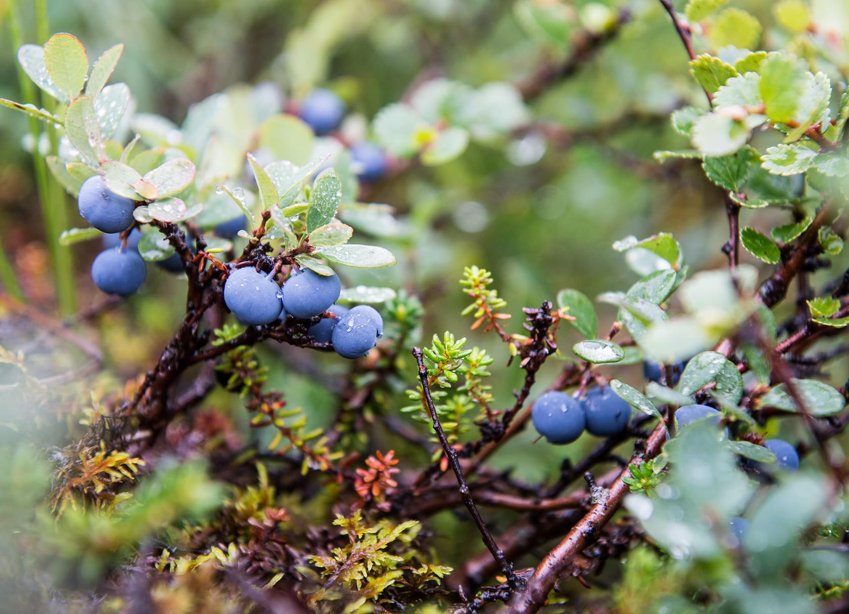 eleven iceland blueberries