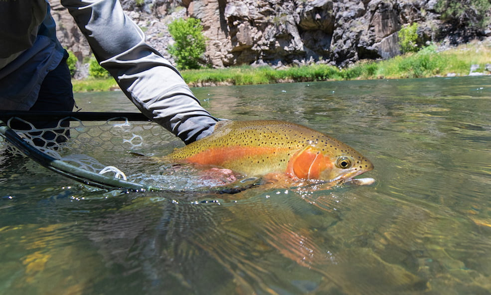 Perfect Rainbow Trout